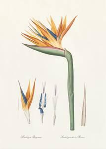 Bilde av Bilde Strelitzia regina 30x40 innrammet